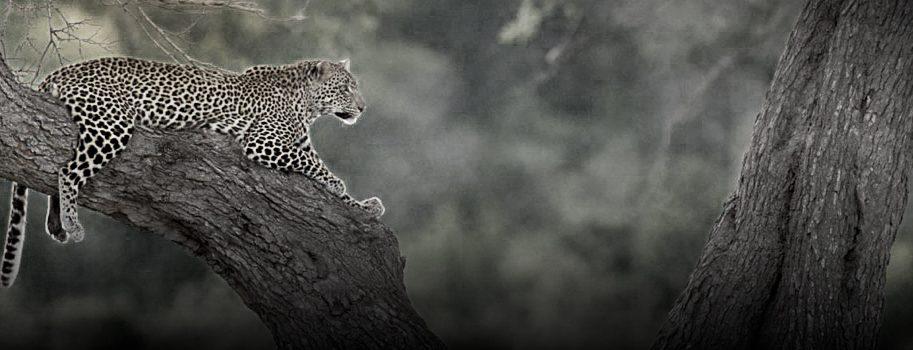 leopard safari info